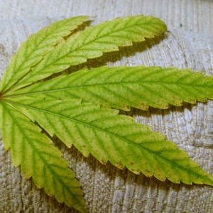 Get The Best Relaxation With The Red Vein Leaves