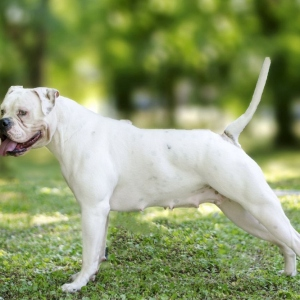 10 Things You Need To Know Before Getting An American Bulldog